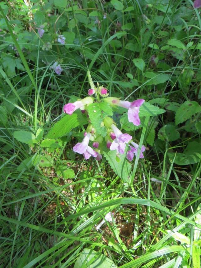 Caylus - wild flowers 1