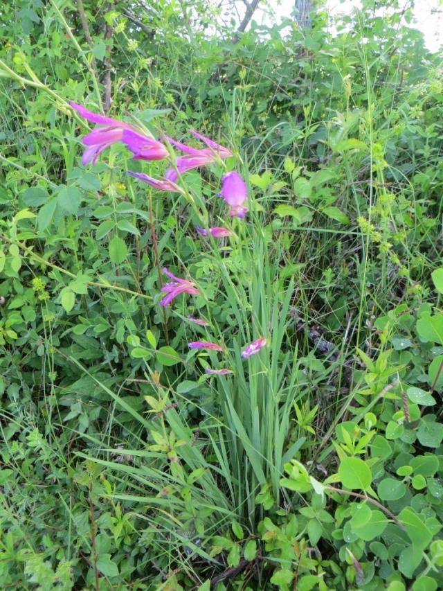 Caylus - wild flowers 4