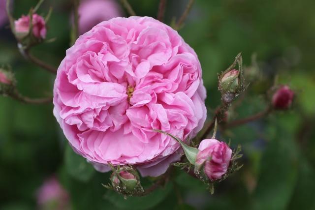 4-Fleur-de-Rosa-x-centifolia